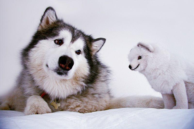 Аляскинский маламут 9