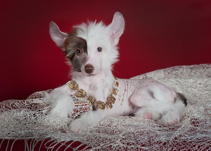 Китайская хохлатая собака 1
