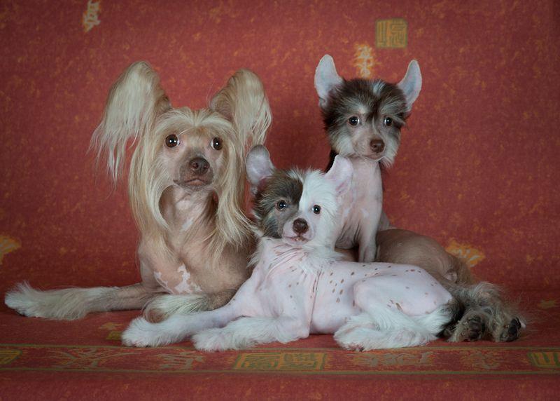 Китайская хохлатая собака 10