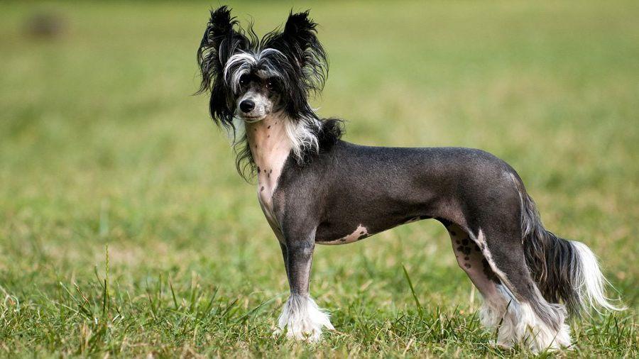 Китайская хохлатая собака 12