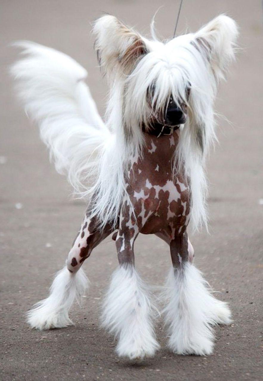 Китайская хохлатая собака 14