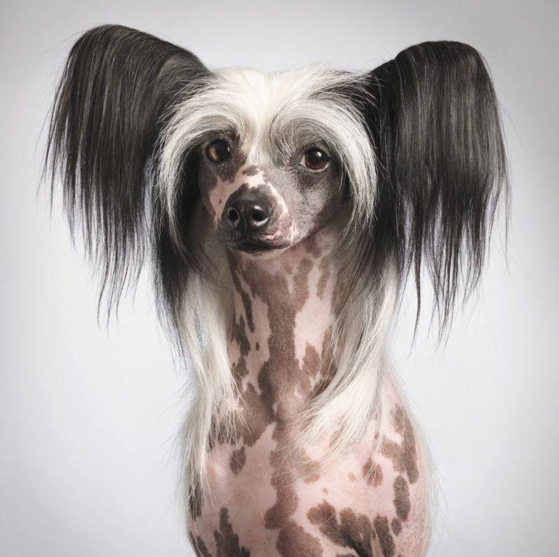 Китайская хохлатая собака 15