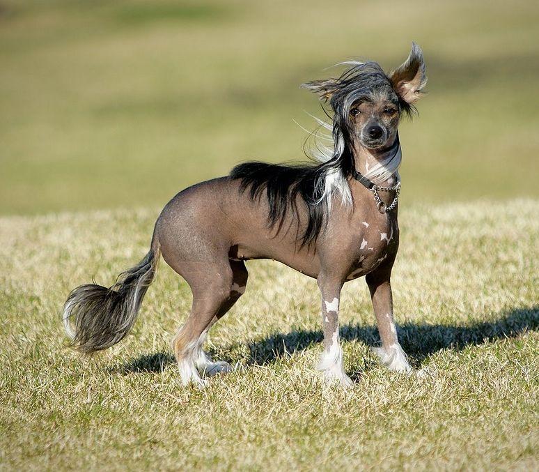 Китайская хохлатая собака 3