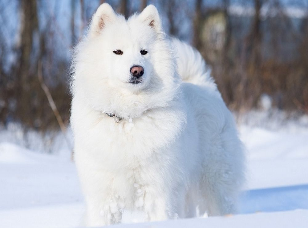 Самоедская собака 1