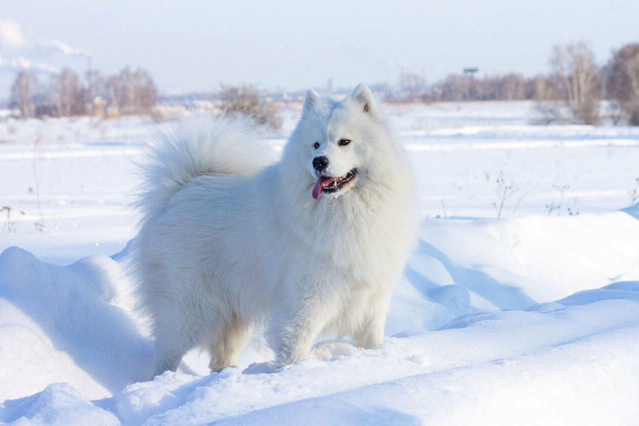 Самоедская собака 11