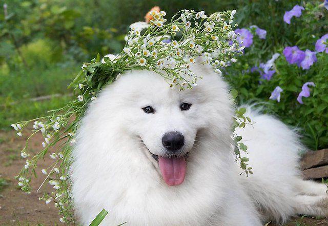 Самоедская собака 13