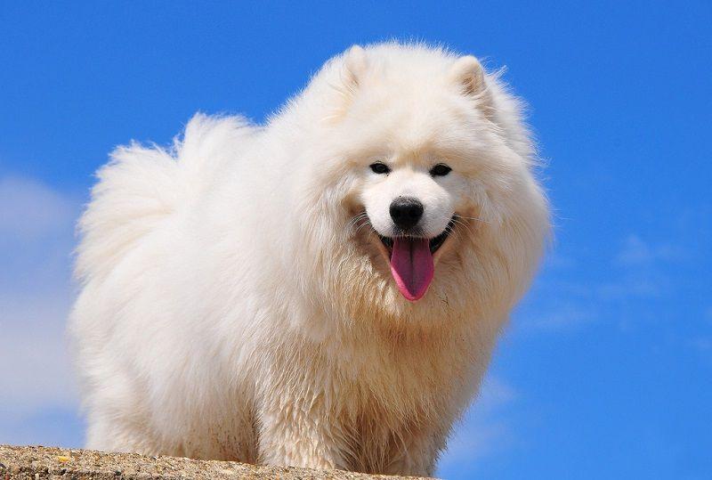 Самоедская собака 14
