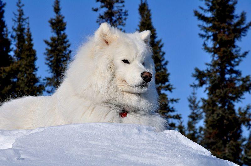 Самоедская собака 17