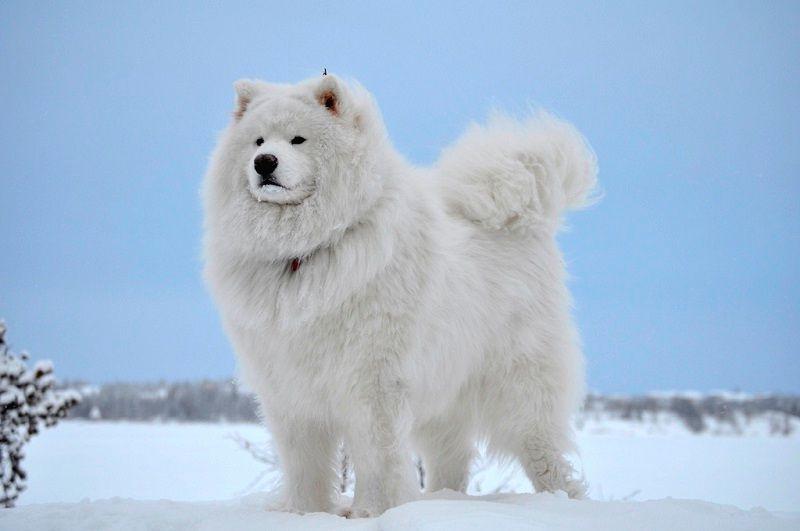 Самоедская собака 18