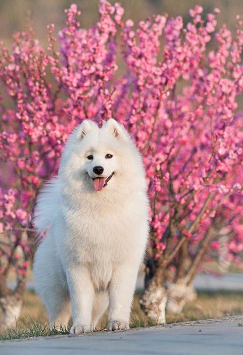 Самоедская собака 19