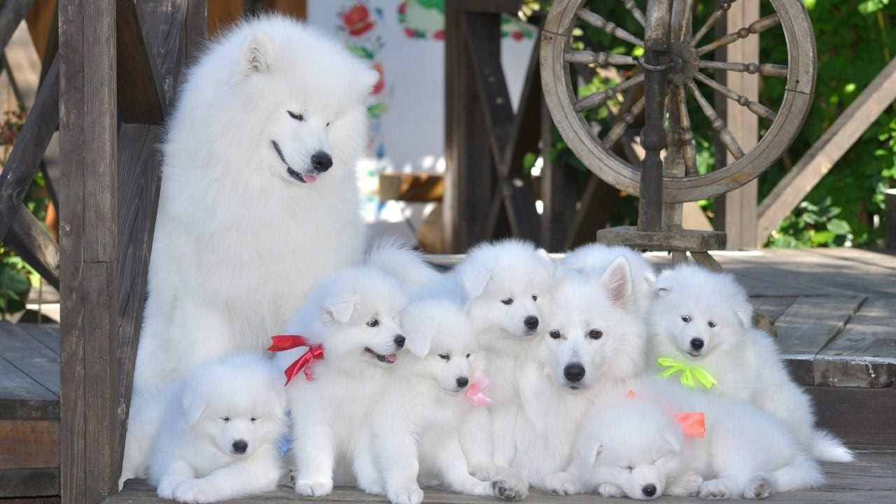 Самоедская собака 2