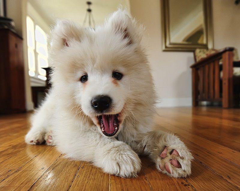 Самоедская собака 20