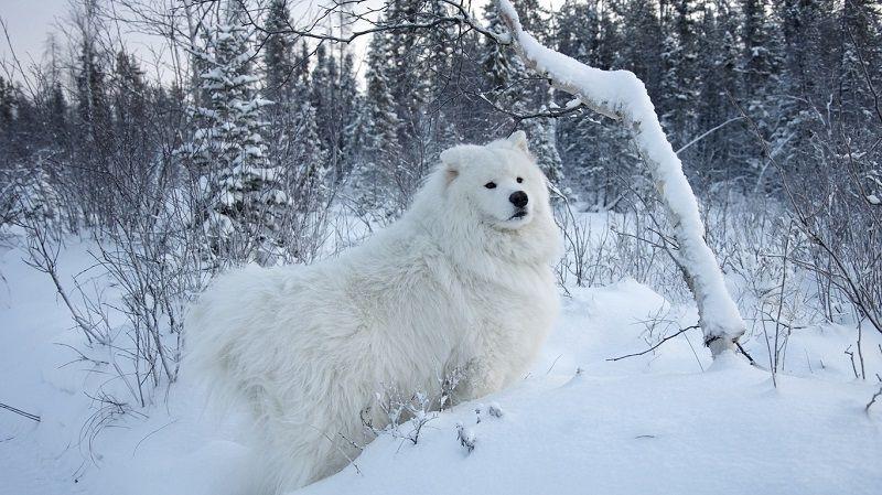 Самоедская собака 21