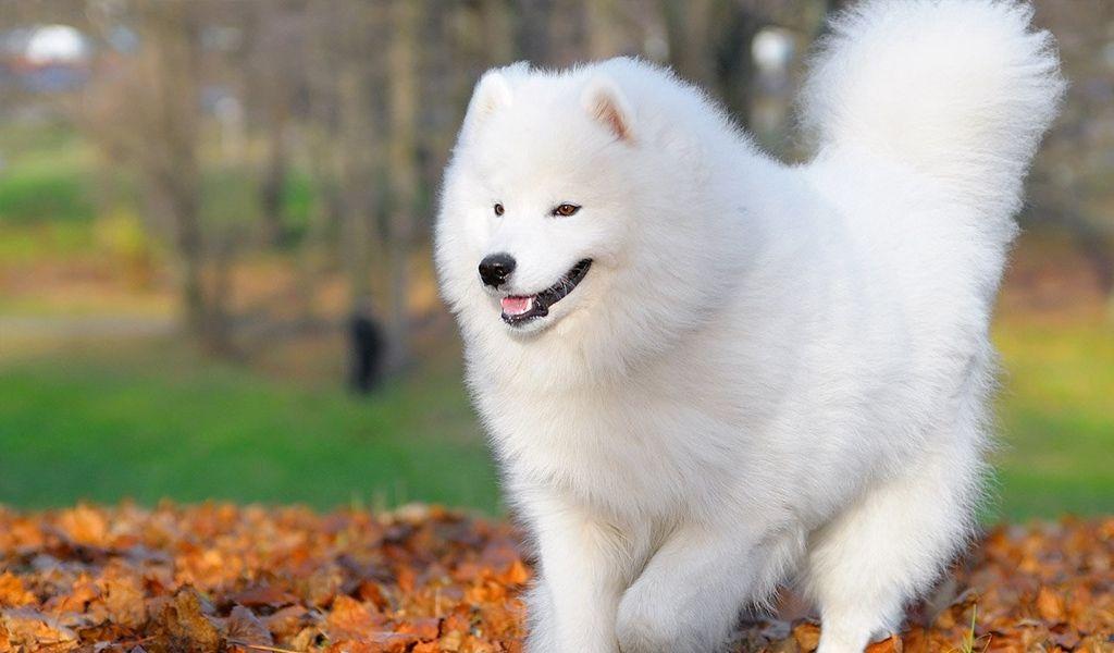 Самоедская собака 24