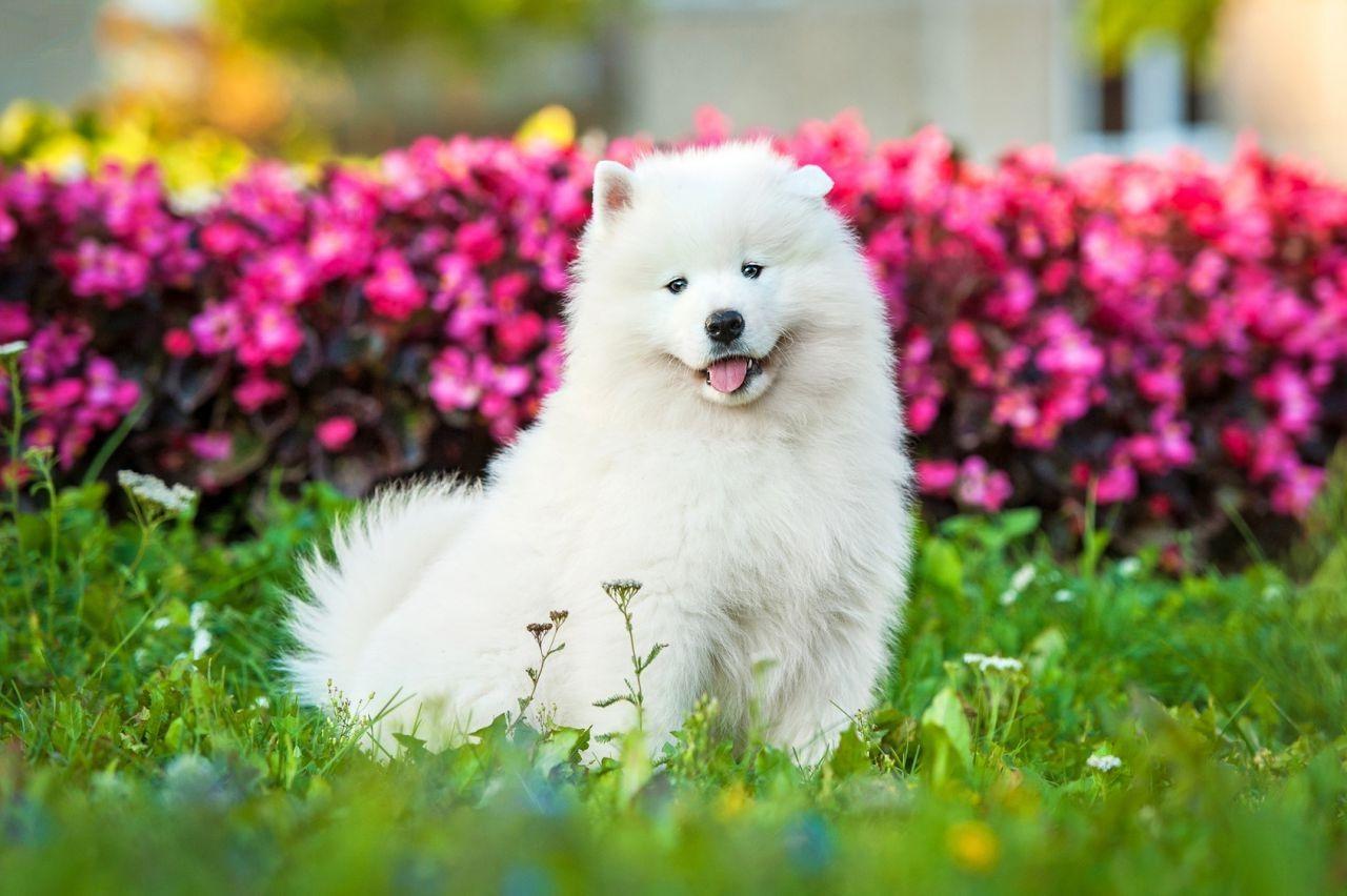 Самоедская собака 25