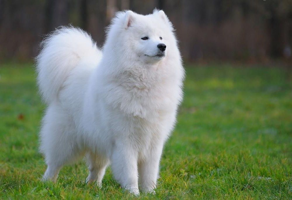 Самоедская собака 27