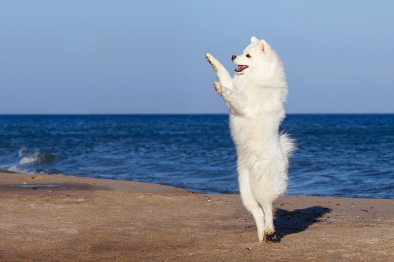 Самоедская собака 28