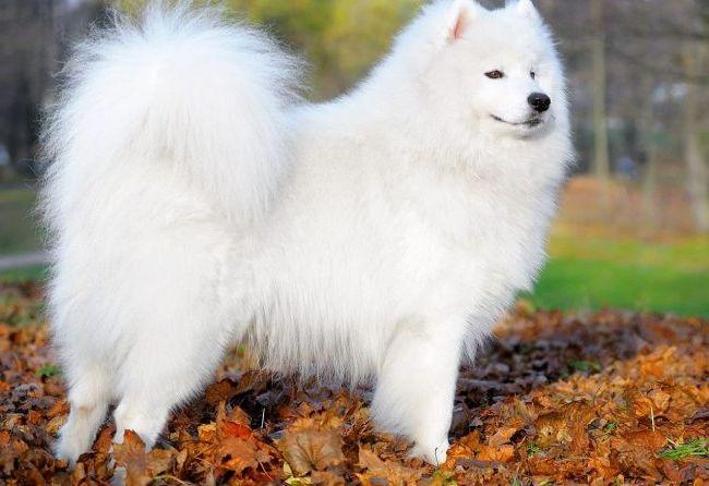 Самоедская собака 3