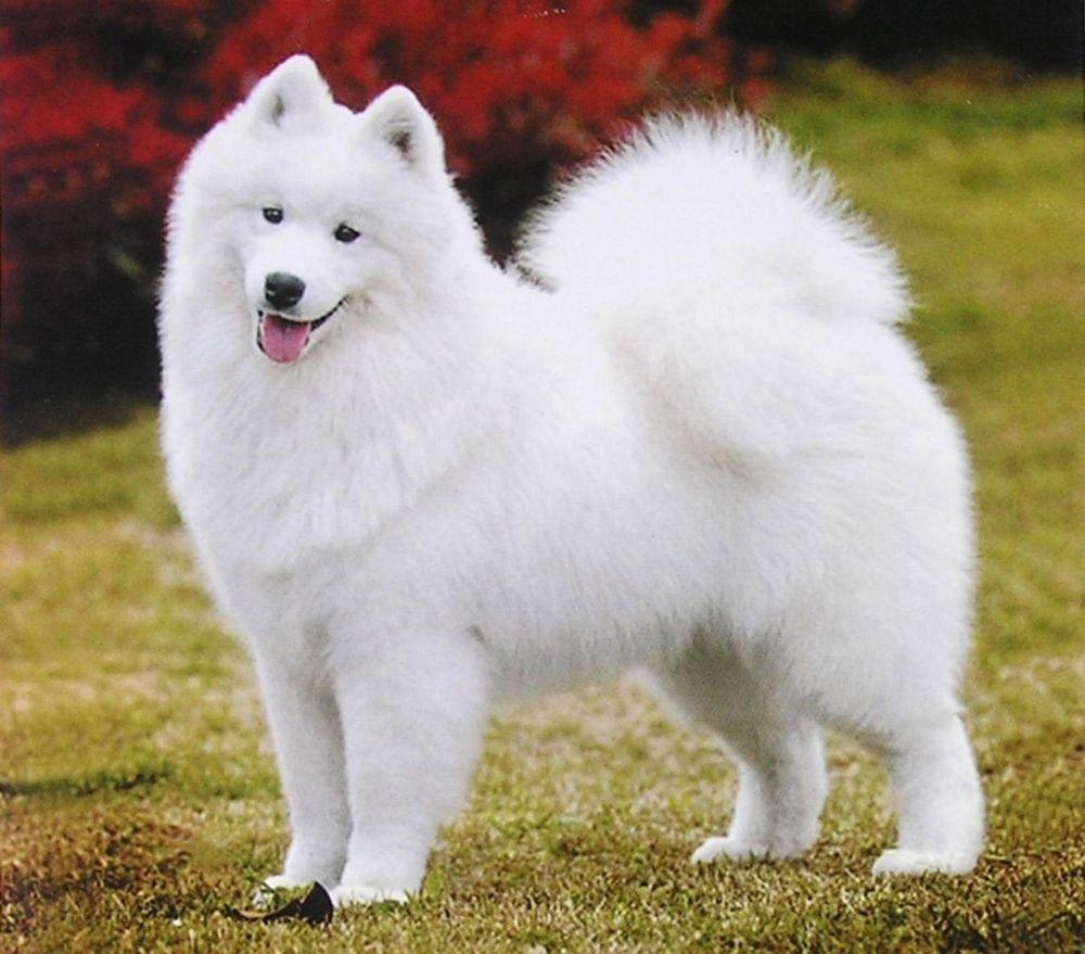 Самоедская собака 30