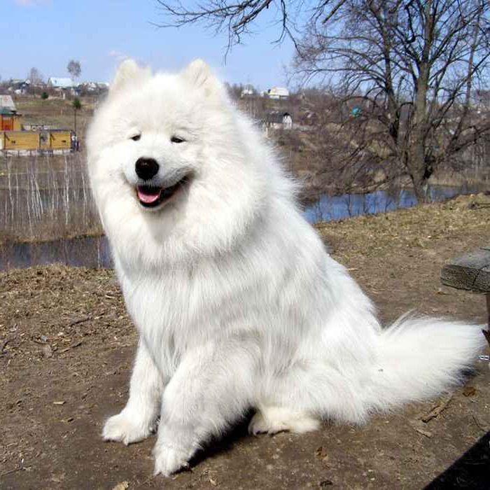 Самоедская собака 6