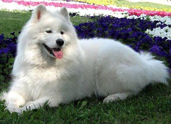 Самоедская собака 8