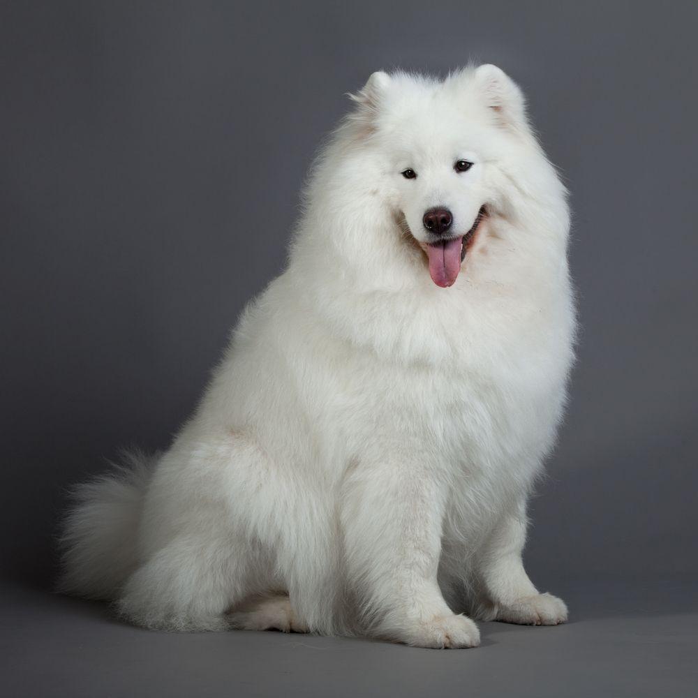 Самоедская собака 9